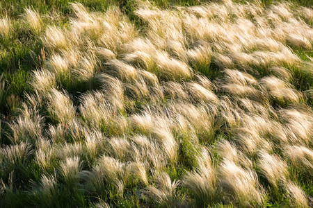 swaying: Silver feather grass swaying in wind in steppe