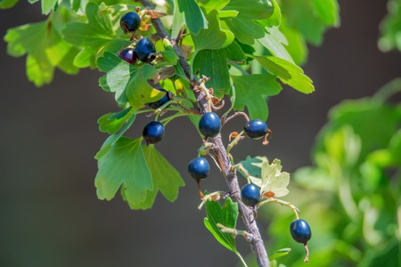 Ripe blackcurrants on the bush branch
