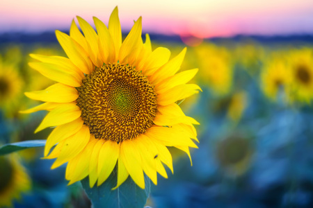 helianthus: Field of sunflowers during sunset