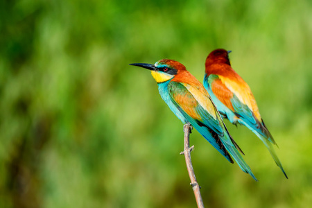 tropica: Pair of exotic colorful tropical birds bee-eaters