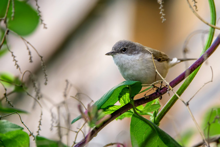 Lesser whitethroat or Sylvia curruca in the nature