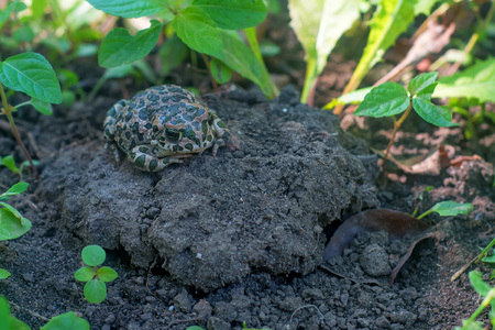 European green toad or Bufo viridis