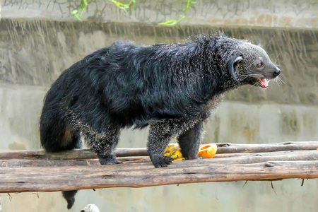 bearcat: Closeup of Binturong or Arctictis binturong in zoo