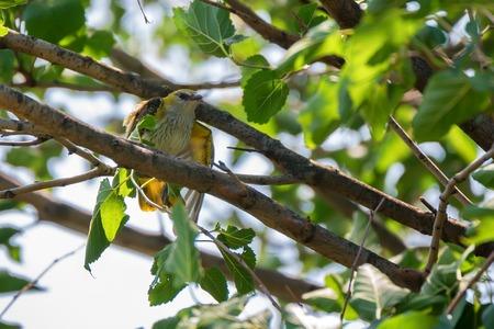 Young Eurasian Golden Oriole or Oriolus oriolus