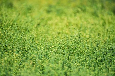 Green flax field