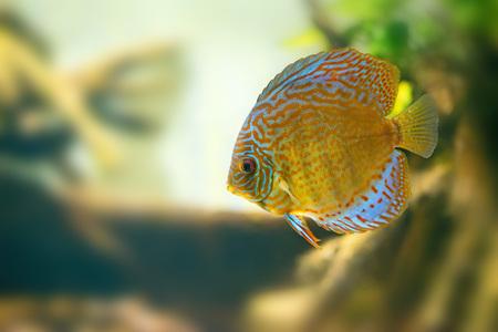 discus: Discus in aquarium Stock Photo
