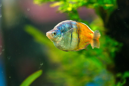 Boesemans rainbowfish or Melanotaenia boesemani