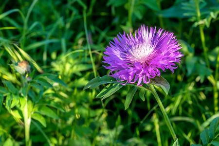 Flower of the whitewash cornflower Stock Photo