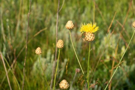 Flowering Centaurea ruthenica in field Stock Photo