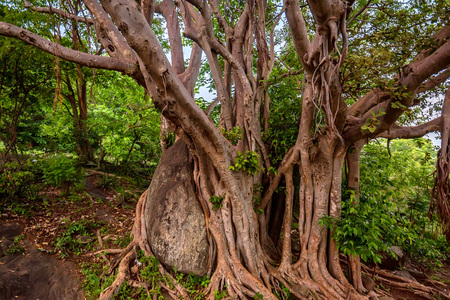 centenarian: Big roots above the surface and trunk in jungle