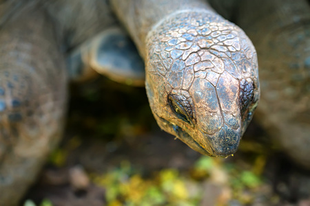 Close-up of Aldabra giant tortoise
