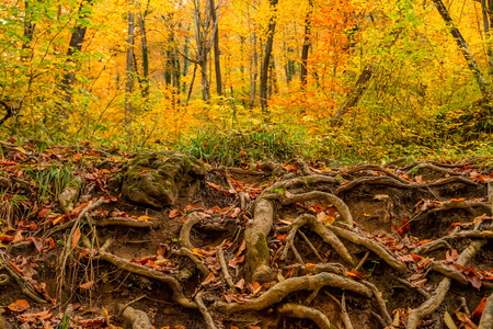 centenarian: Big roots above the surface Stock Photo