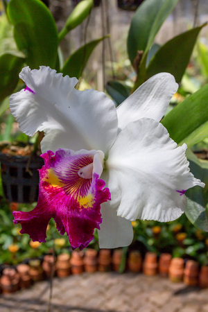 subtropical plants: Beautiful white and magenta orchid