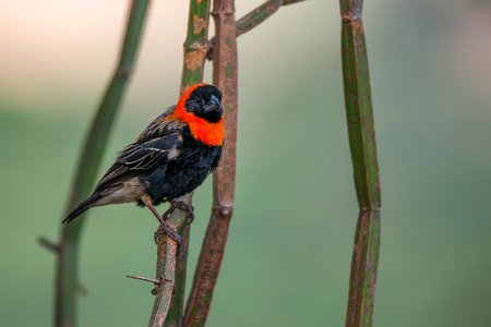 Southern Red Bishop or Euplectes orix Stock Photo