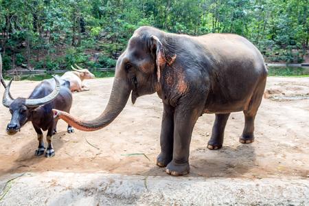 Asian elephant or elephas maximus in captivity Stock Photo