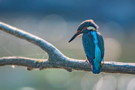 alcedo atthis: Kingfisher or Alcedo atthis perches on branch