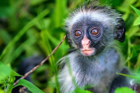 Baby Zanzibar red colobus or Procolobus kirkii