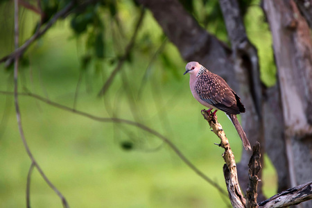 Spotted Dove or Streptopelia chinensis