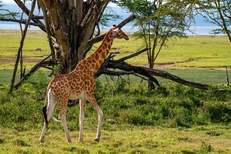 Ugandan giraffe browses in savannah Stock Photo