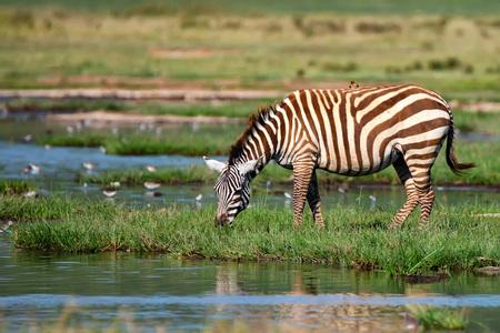 nakuru: Zebra at watering place