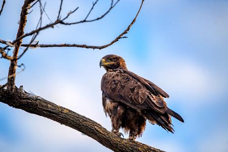 Steppe eagle or Aquila nipalensis sits on a tree Stock Photo