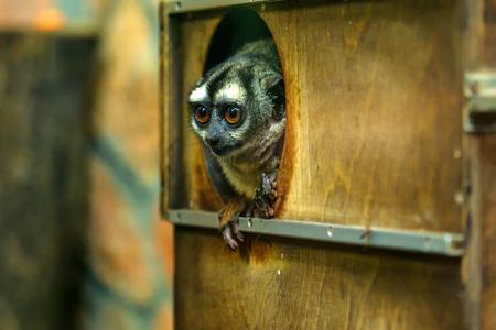 Three-striped night monkey or Aotus trivirgatus