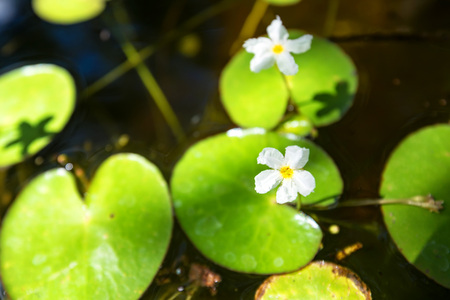 Nymphoides hydrophylla or floatingheart Stock Photo