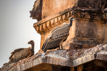 Indian vulture or Gyps indicus Stock Photo