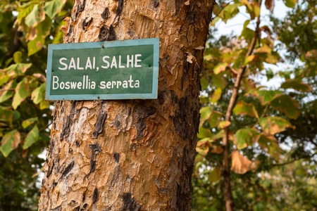 Boswellia serrata tree with plate with its name 스톡 콘텐츠