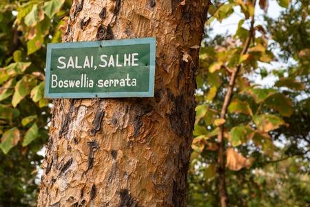 Boswellia serrata tree with plate with its name Foto de archivo