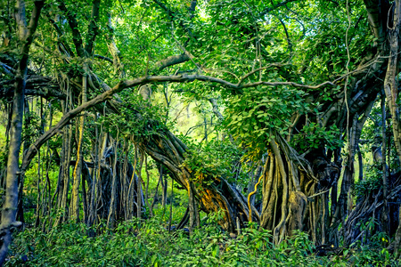 Scenic view of jungle with Indian banyan Stock Photo