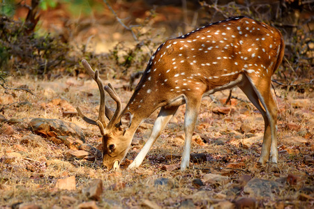 Spotted deer or Axis in national park Ranthambore