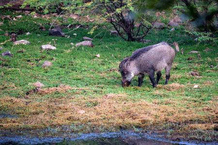 Indian boar or Sus scrofa cristatus Stock Photo