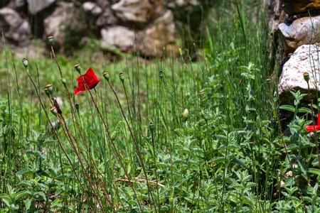Poppies blossom in ancient ruins in Dion, Greece