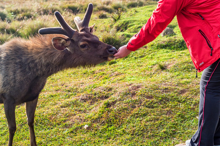 Feeding of wild sambar deer or Cervus unicolor Stock Photo