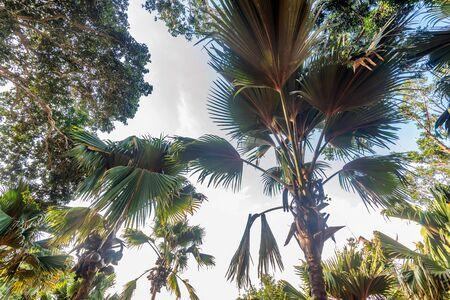 Sea coconut or Lodoicea maldivica also known as coco de mer or double coconut. Male palm Stock Photo