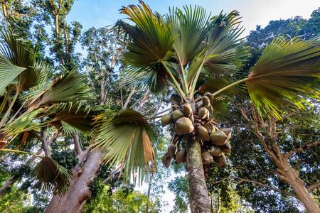 Sea coconut or Lodoicea maldivica also known as coco de mer or double coconut. Female palm Stock Photo
