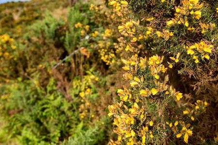 Flowering common gorse or Ulex europaeus Stock Photo