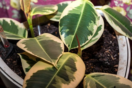 Leaves of decorative ficus plant close
