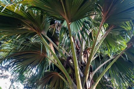 Sea coconut or Lodoicea maldivica