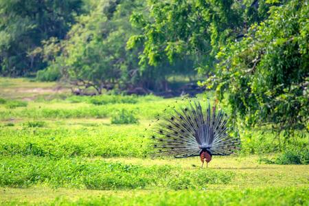 Peacock or Pavo cristatus Stock Photo