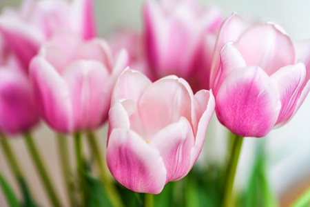 Close up beautiful pink tulips Stock Photo