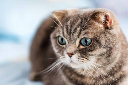 Grey British Shorthair cat portrait Stock Photo