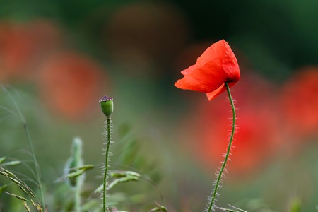 Single poppy flower with poppy field background Stock Photo