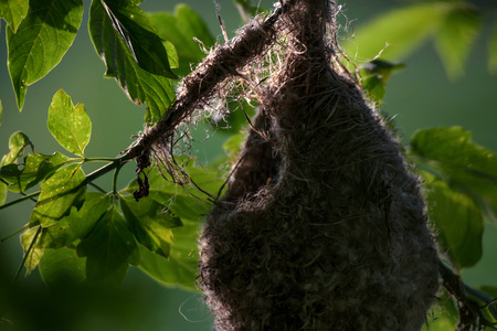 Eurasian penduline tit nest Stock Photo