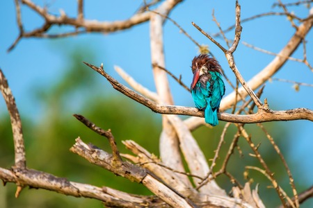 White-throated kingfisher or Halcyon smyrnensis Stock Photo