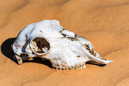 Sheep skull in sand close Archivio Fotografico