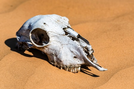 Sheep skull in sand close Stock Photo