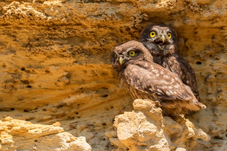 Pair of Little owls or Athene noctua on rock