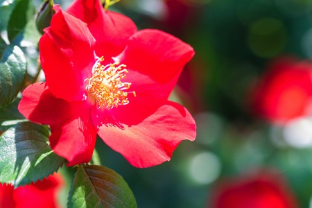 Beautiful red dogrose flower Stock Photo